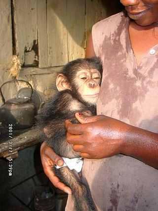 Orphaned Chimp Conakry Guinea