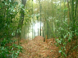Bamboo thicket in forest of lost souls