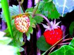 red wild strawberries